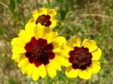 Coreopsis tinctoria, Tall Mixed 500 seeds - FREE POST